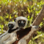 Researchers at the Duke Lemur Center are working to ensure that lemurs stay healthy as environmental conditions in their island home continue to shift.