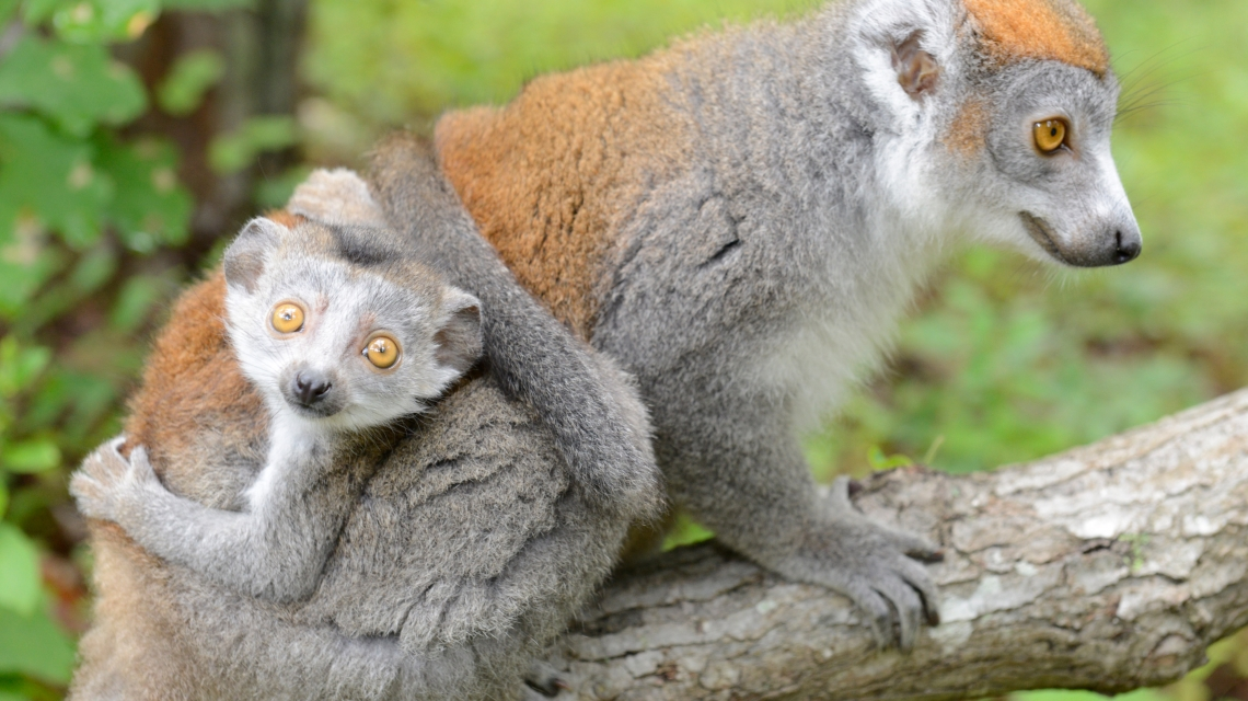 crowned lemur smaller
