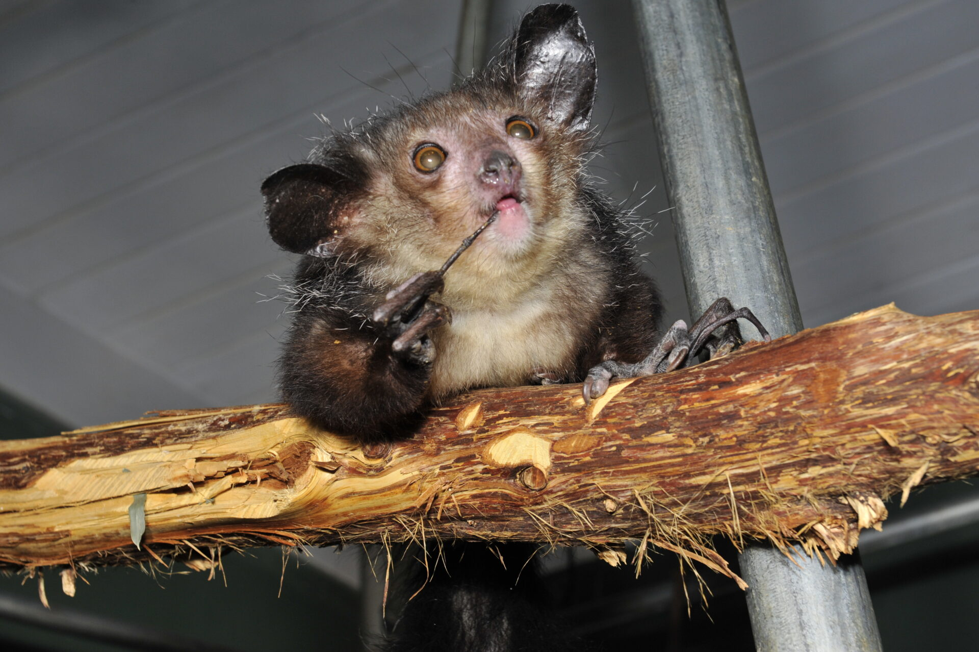 aye aye A pair of the nocturnal creatures from madagascar got lucky, however like its  parents, the baby aye-aye has big ears, wiry fur and, most.
