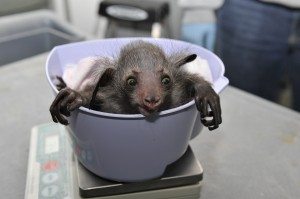A baby aye-aye gets weighed at the Duke Lemur Center. The center's new database contains over 65,000 weight measurements for more than 2100 animals (27 species), taken over each animal's lifespan.