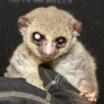 The database includes records for lemurs like Jonas, who at the age of 29 is the longest-lived captive dwarf lemur in history, and is a member of one of the only primate species known to hibernate.