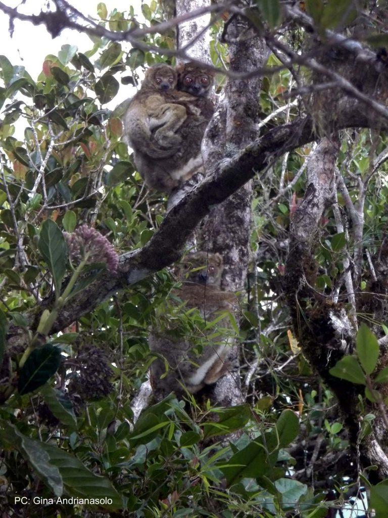 Woolly lemur (avahi)