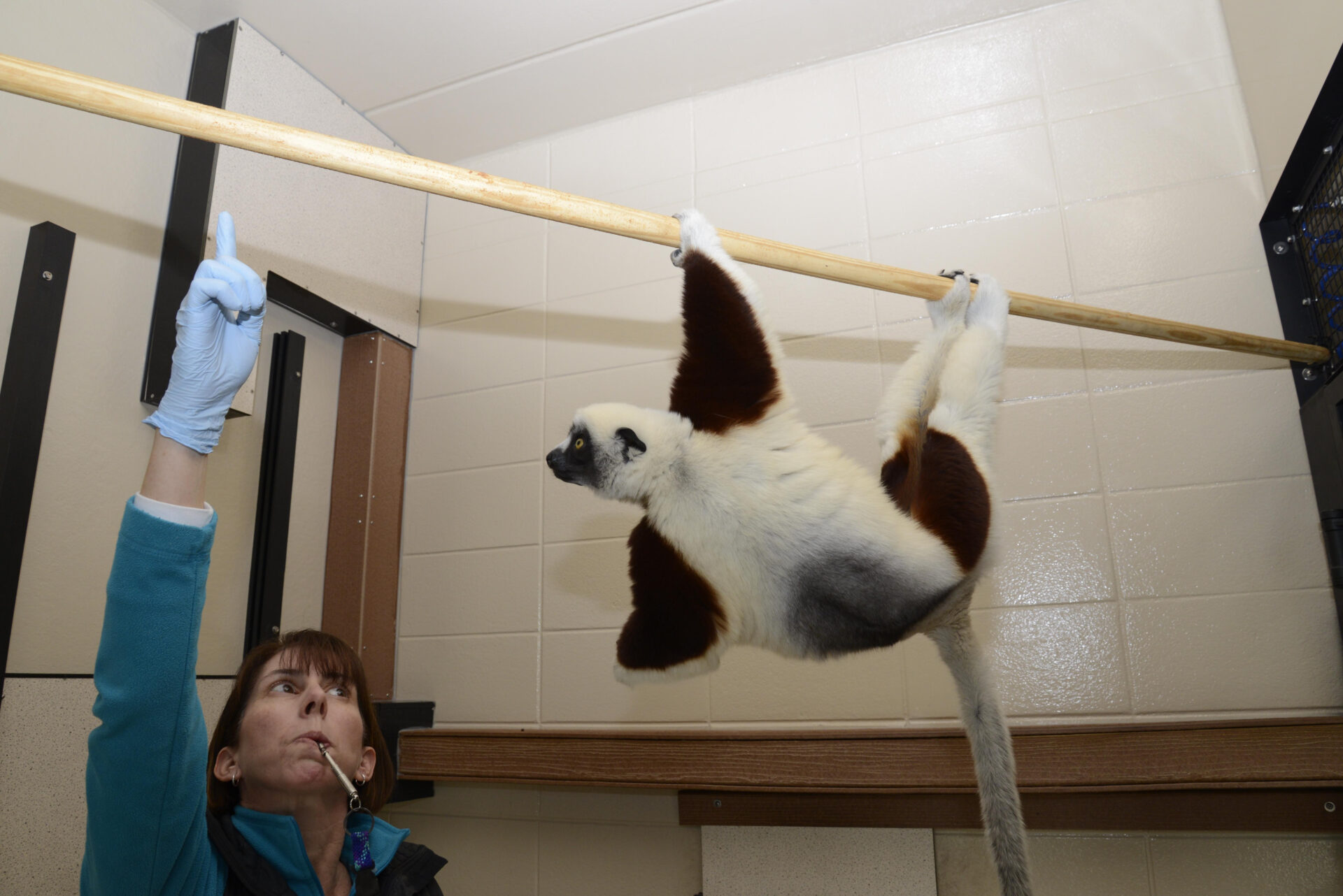 training session behind the scenes tour sifaka