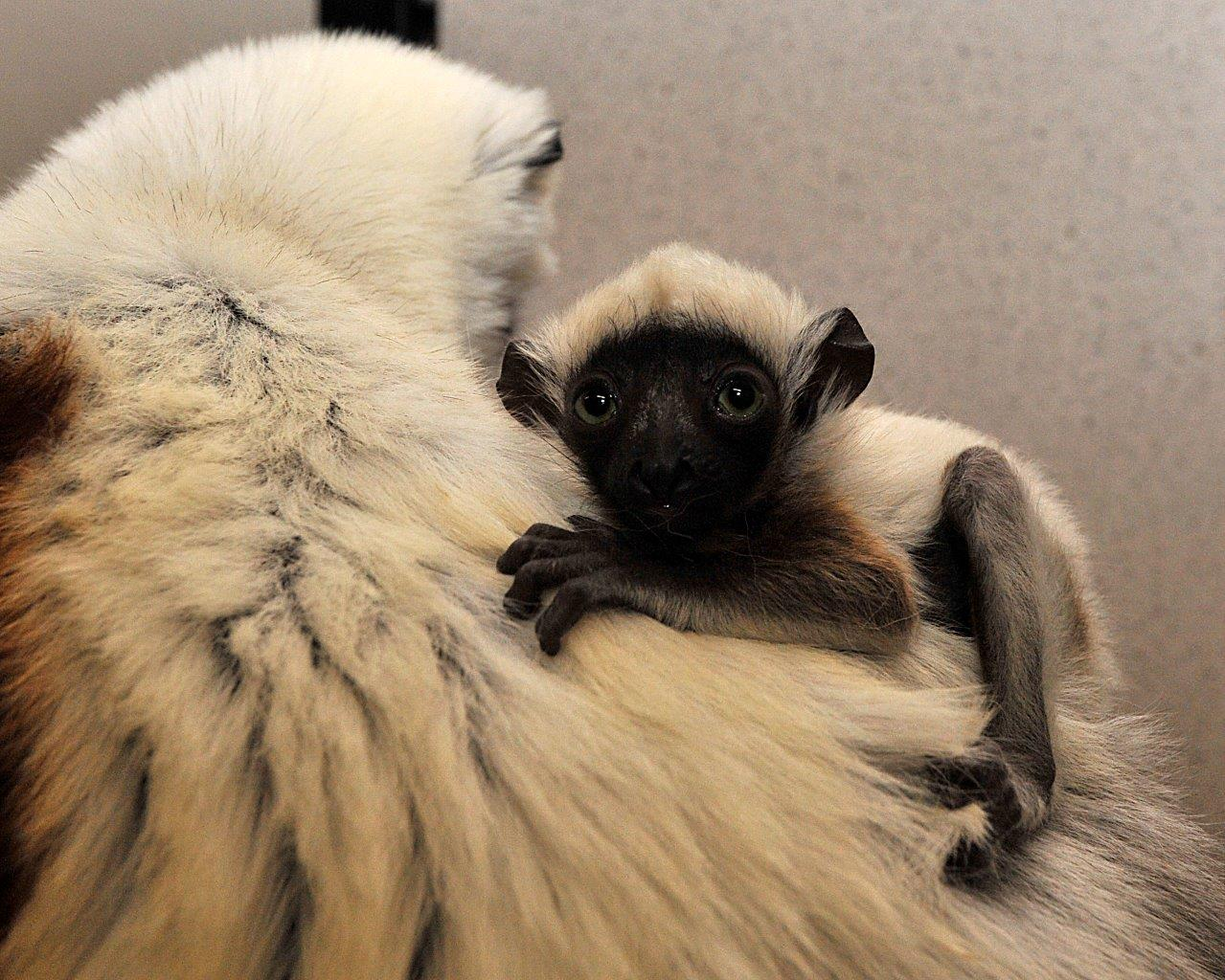 baby lemur infant sifaka at duke lemur center