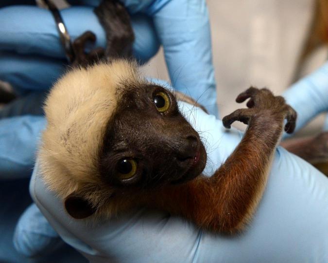 Recent Births: 2017 Infants! - Duke Lemur Center