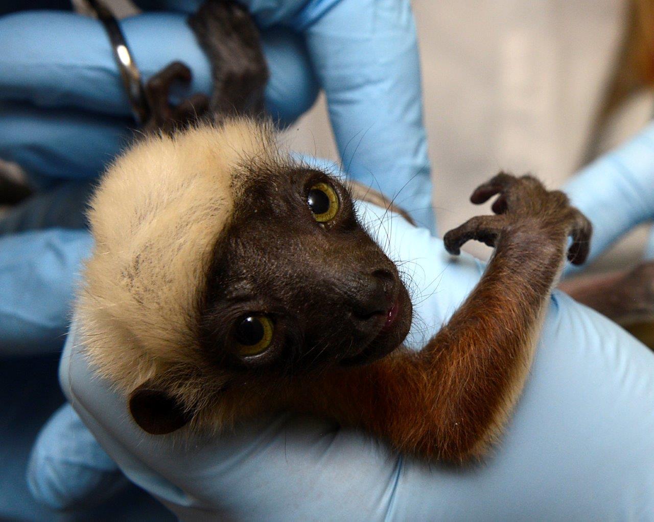 lemur baby infant sifaka at duke lemur center