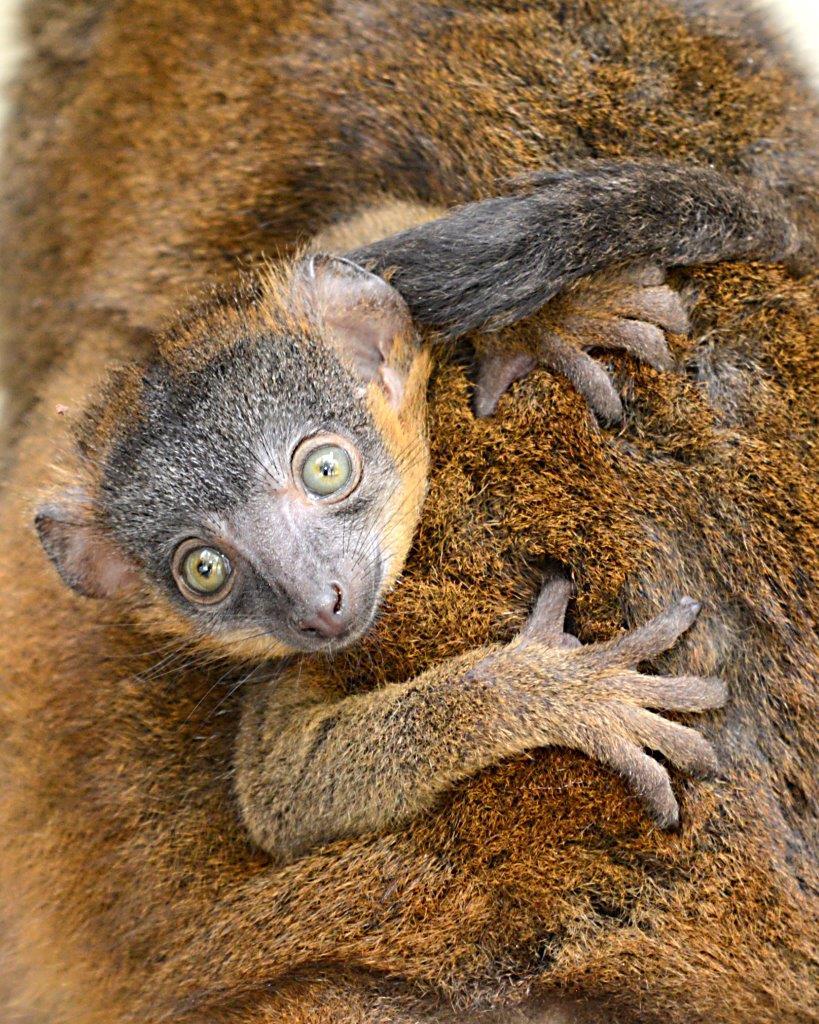 collared lemur infant