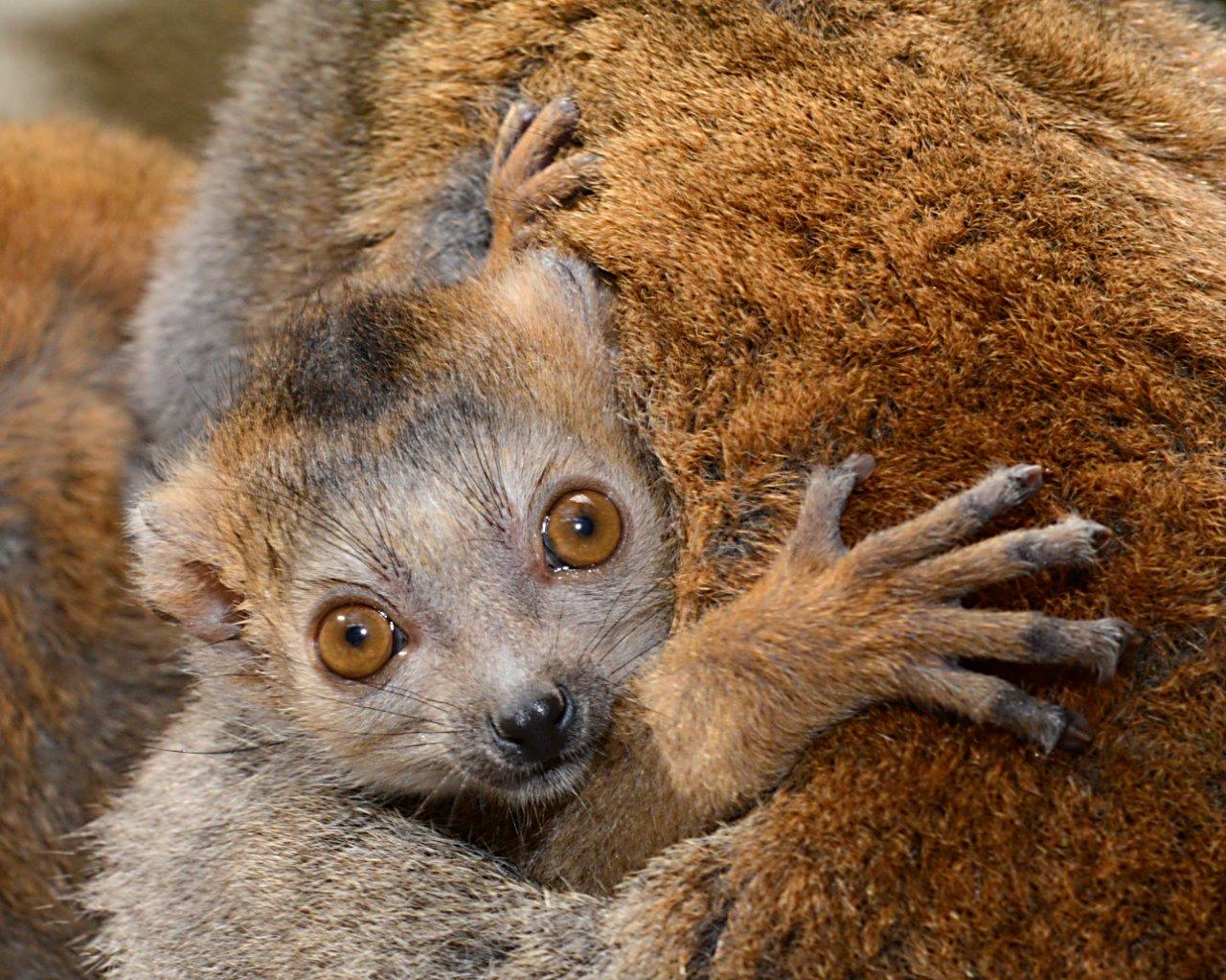 crowned lemur infant ma'at