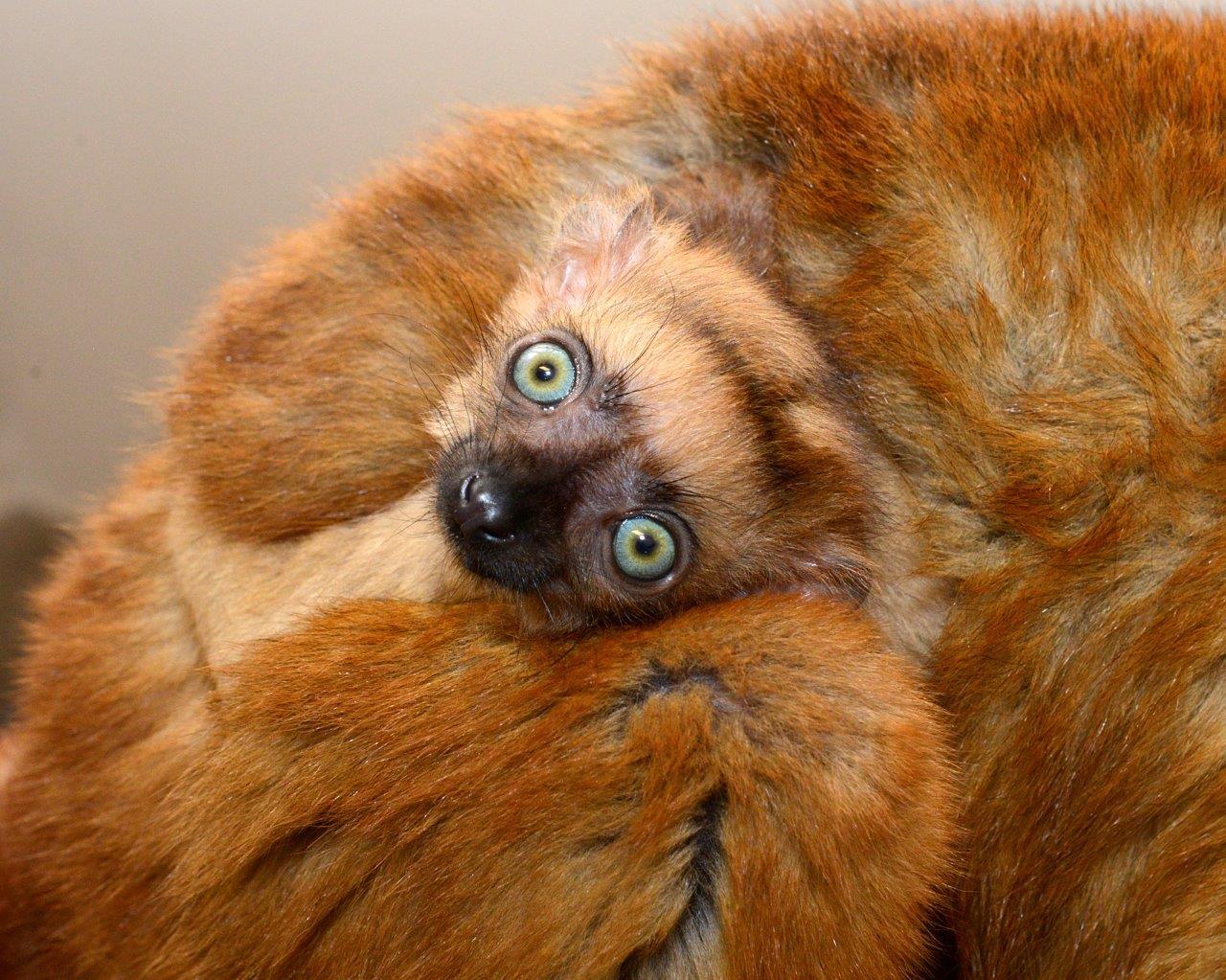 blue-eyed black lemur infant flavifrons