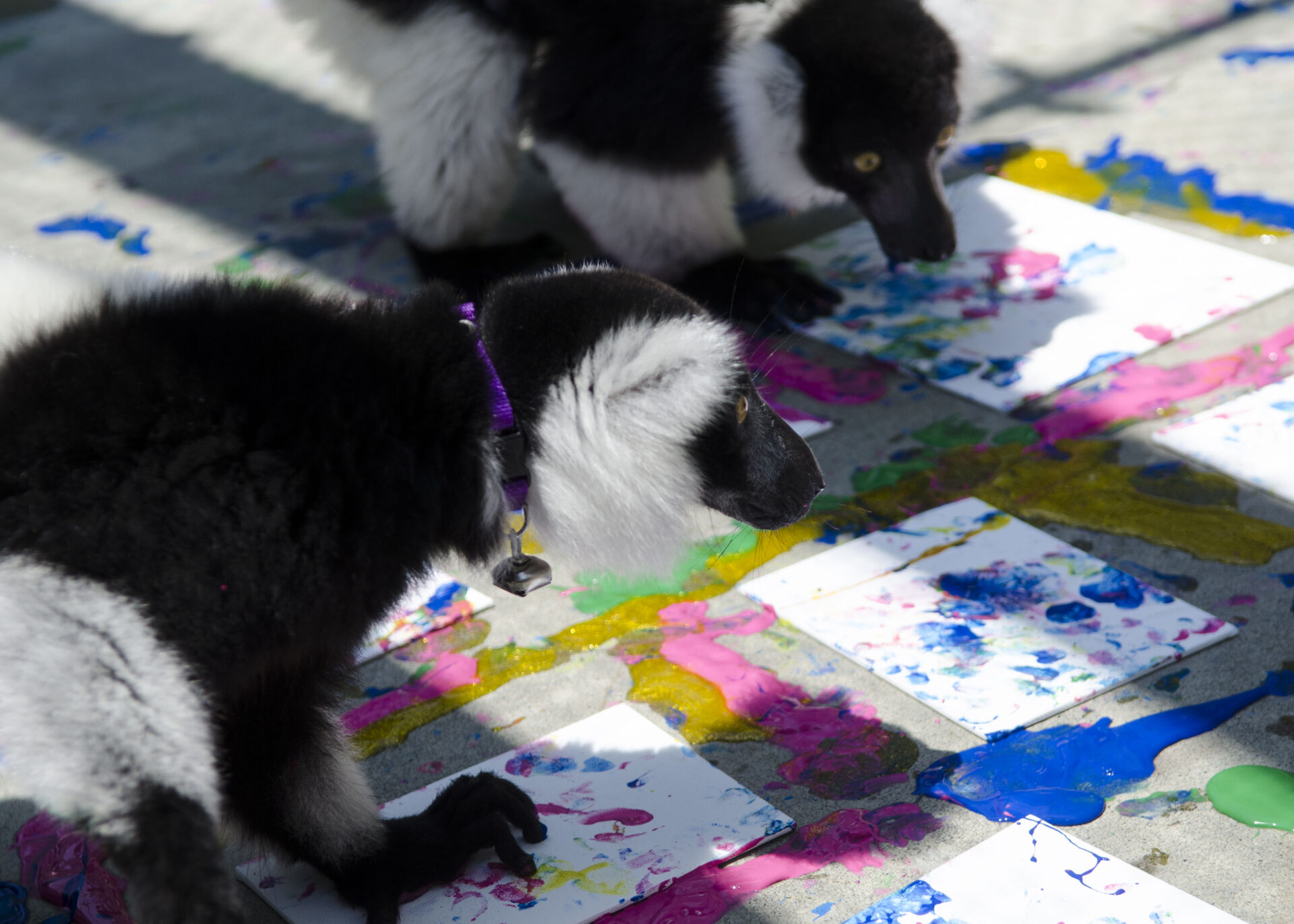 ruffed lemurs painting tour