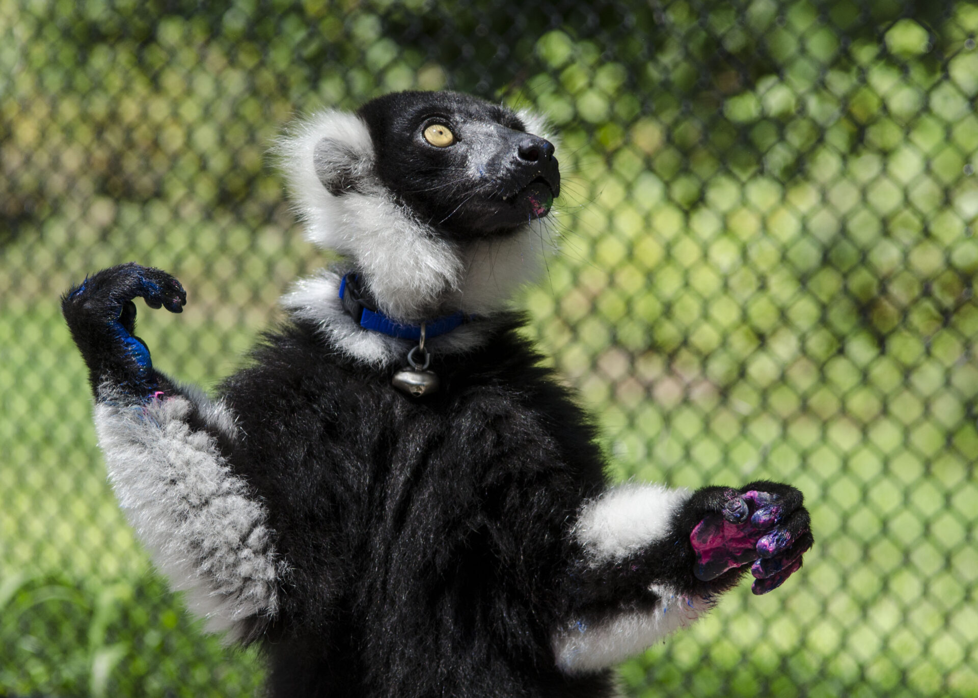 painting with lemurs premium tour ruffed lemur