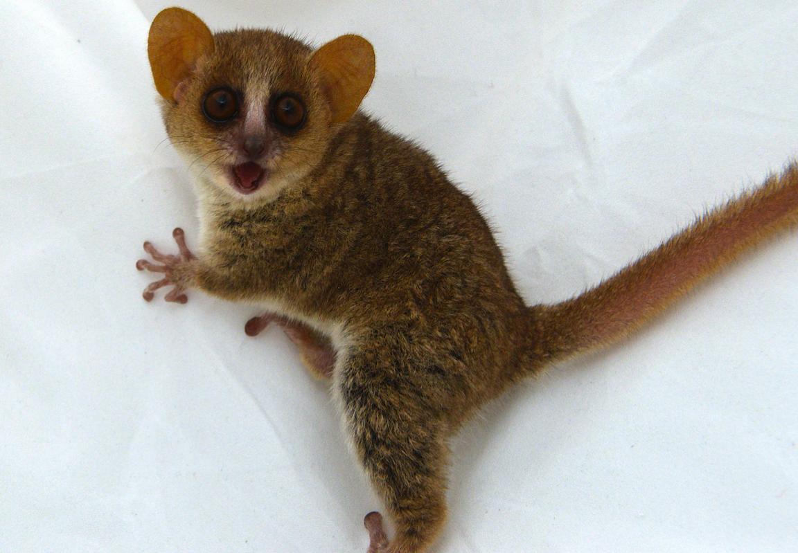 mouse lemur infant