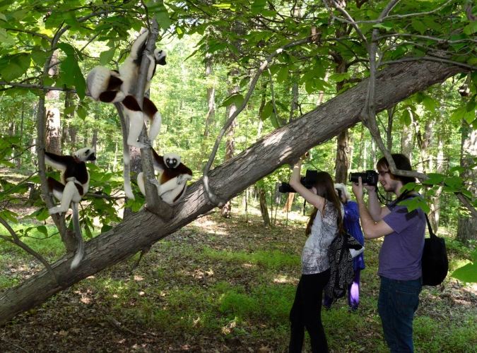 sifaka photography walking with lemurs premium tour photography