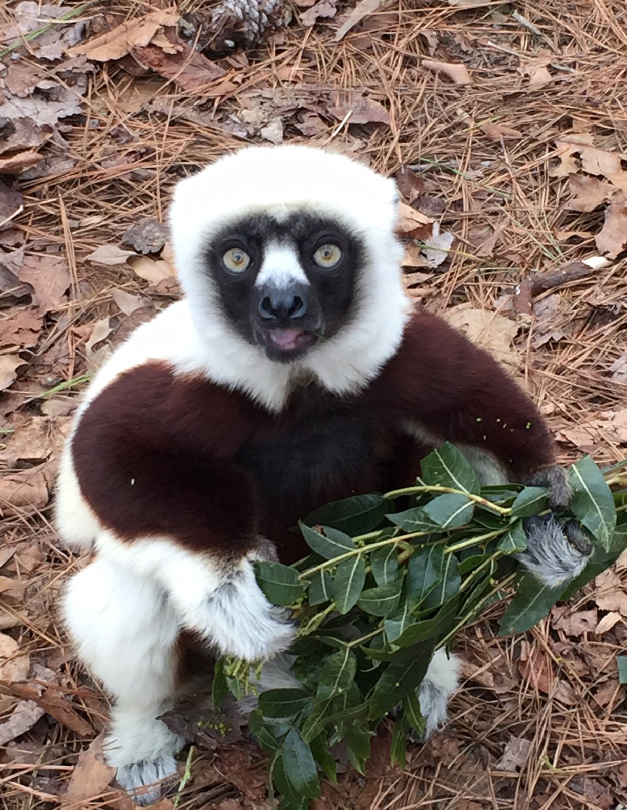 keeper for a day sifaka