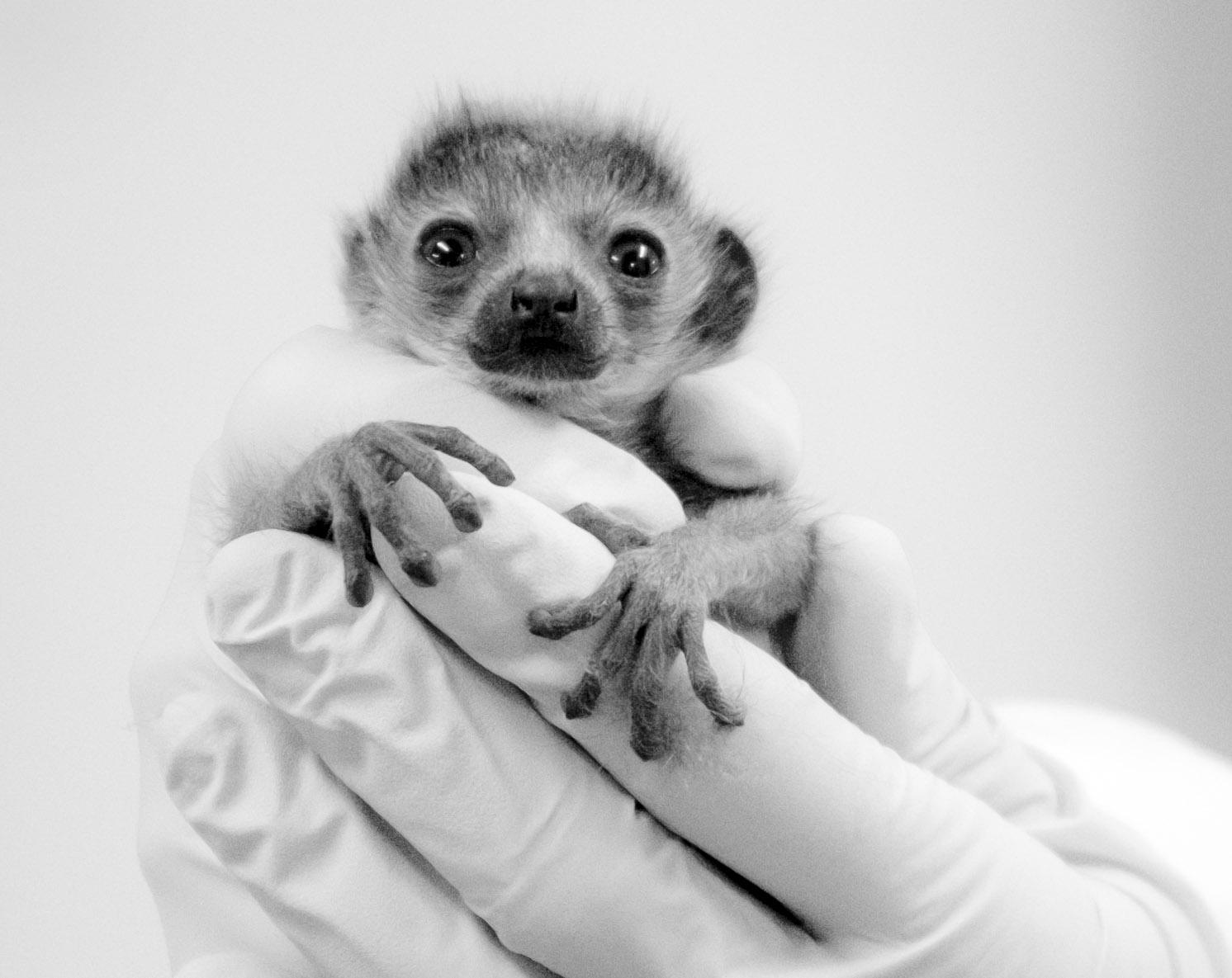 mongoose lemur infant nacho