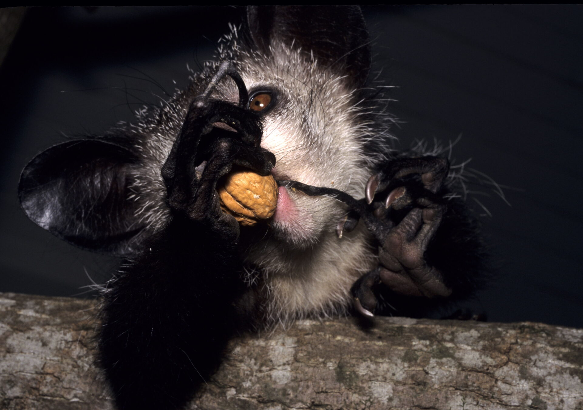 aye-aye adult using finger to pick out walnut tapping