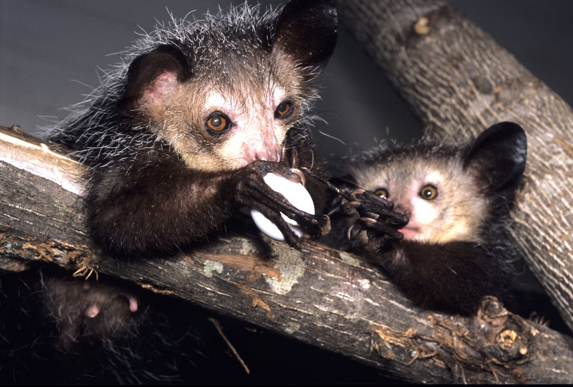 aye-aye mother and infant sharing egg tapping