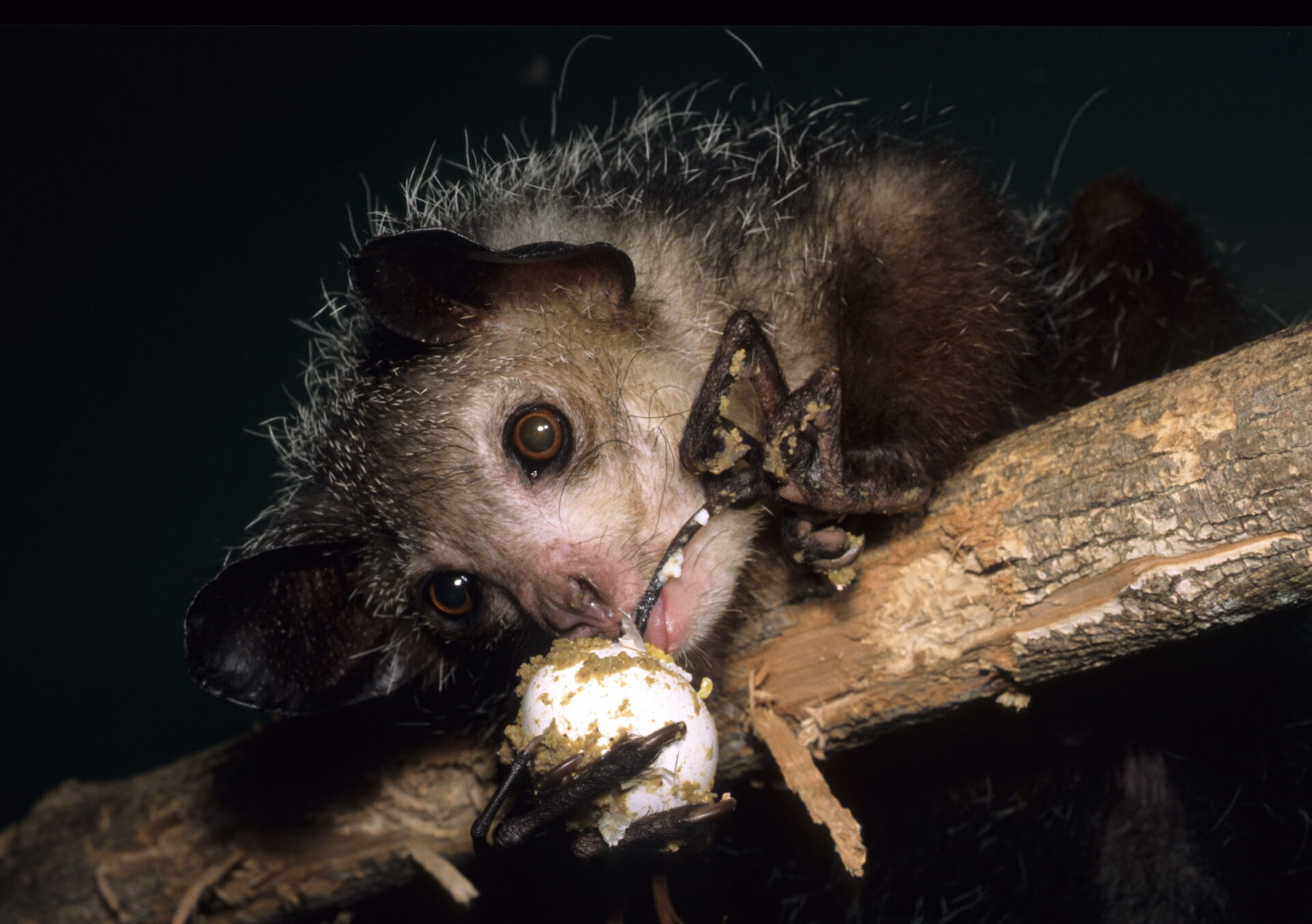 adult aye-aye feeding eating egg