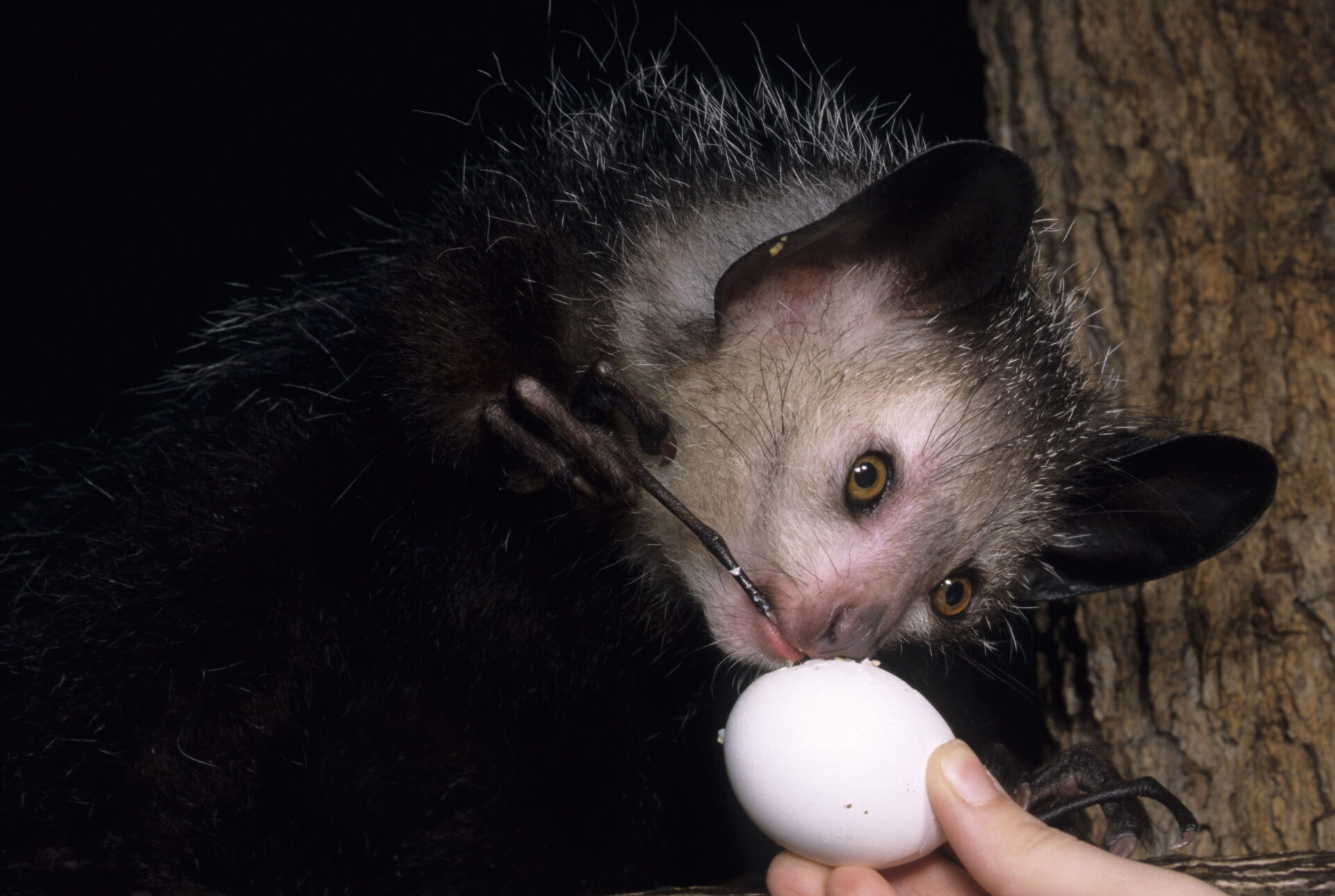 aye-aye egg licking tapping