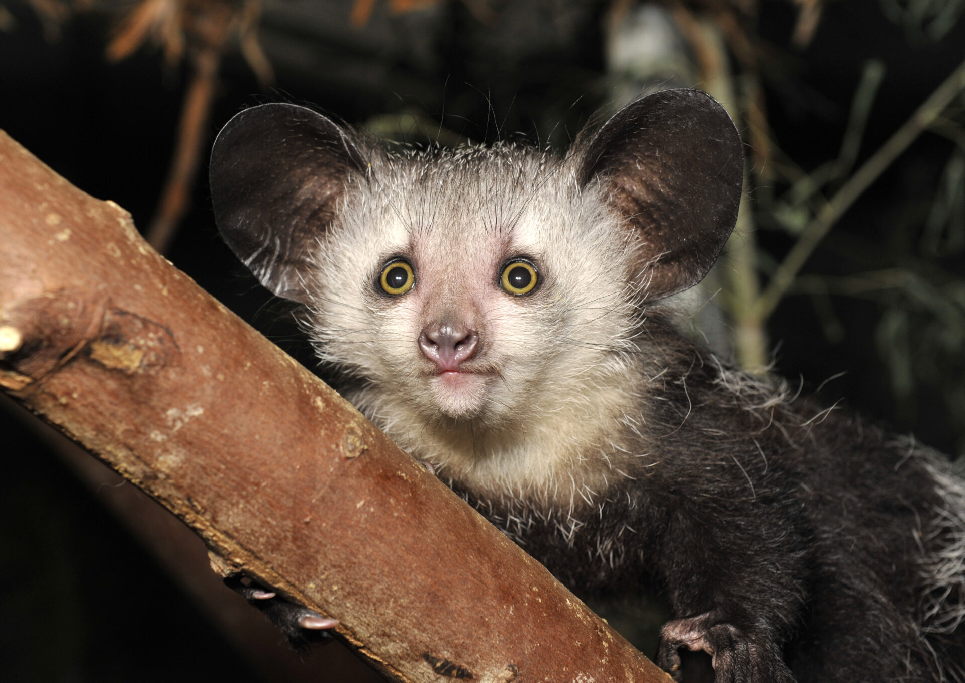 infant aye-aye female elphaba