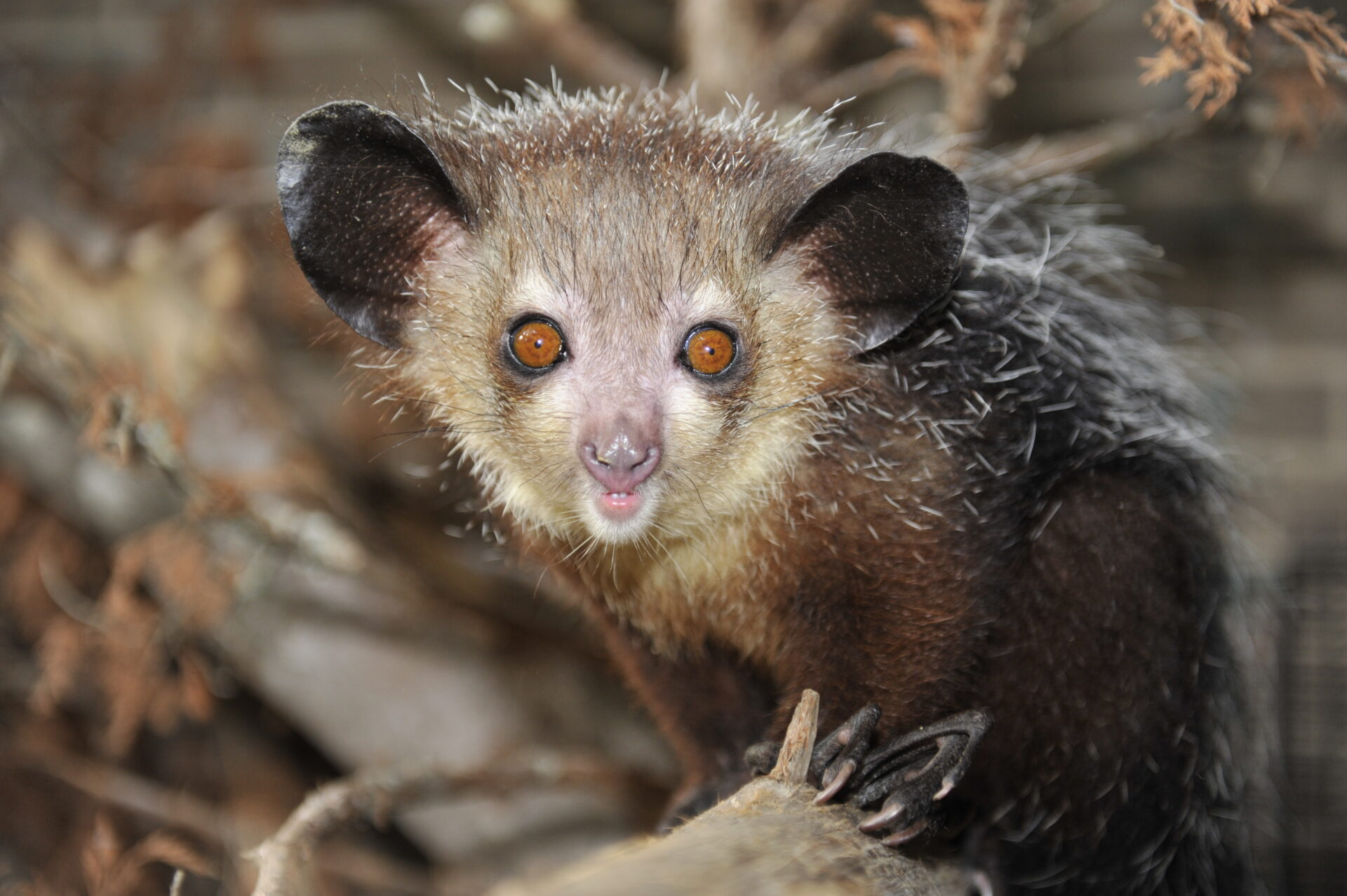 the aye aye in madagascar it pays Madagascar's mysterious aye-ayes scientists combat habitat decline and local  superstition to preserve the long-fingered prosimian lbert michael greve.