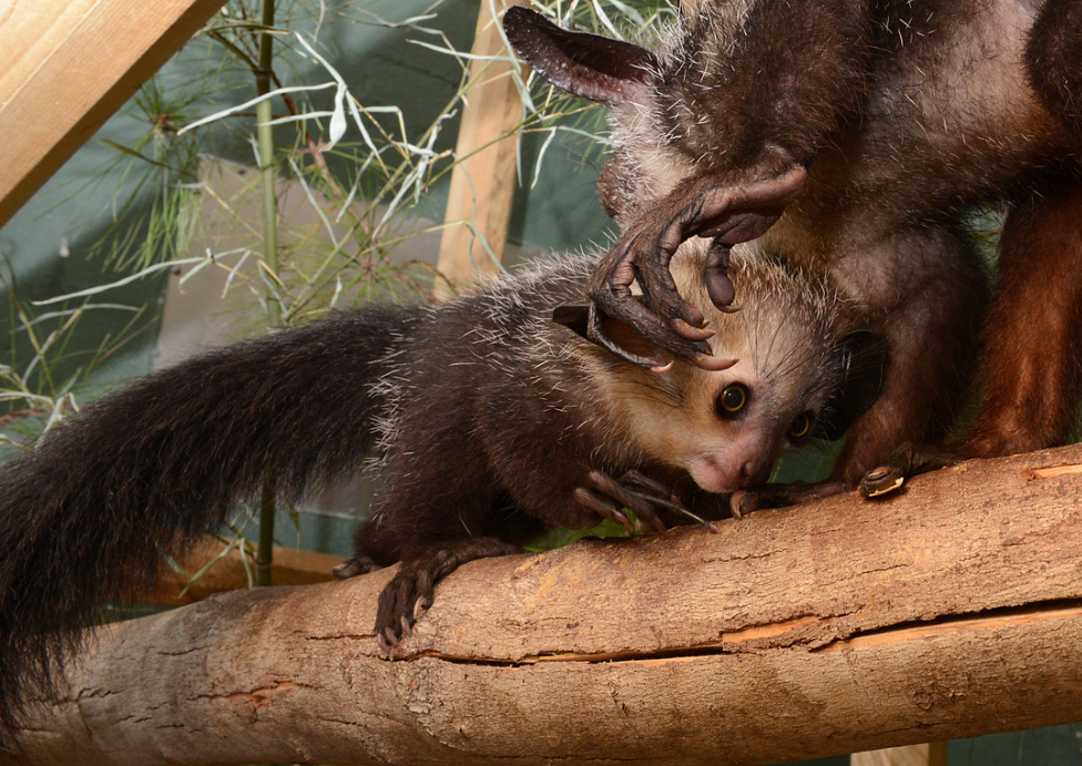 young female aye-aye agatha infant tapping with mother