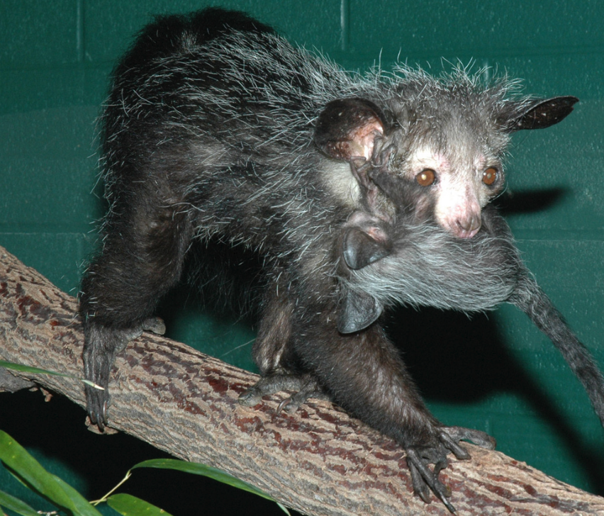 AYE-AYE carrying her infant