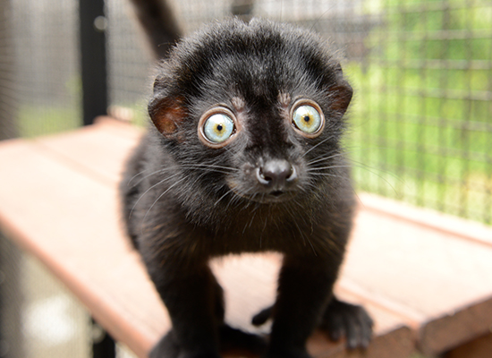 blue eyed black flavifrons lemur infant