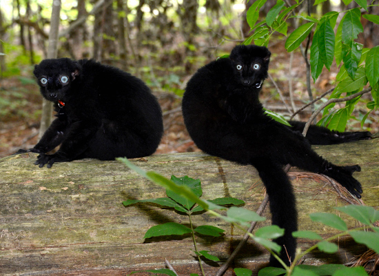 flavifrons blue eyed black lemurs