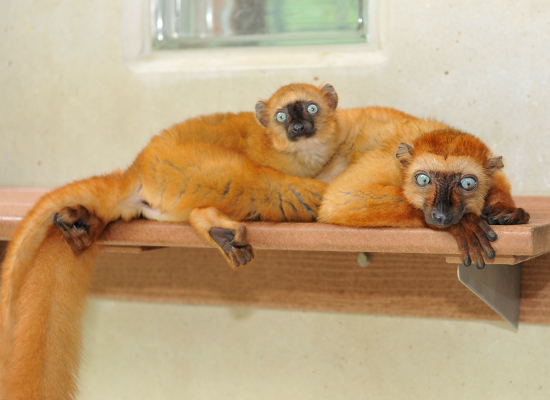 flavifrons blue eyed black lemur infant