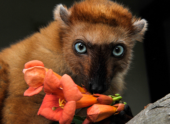flavifrons blue eyed black lemur