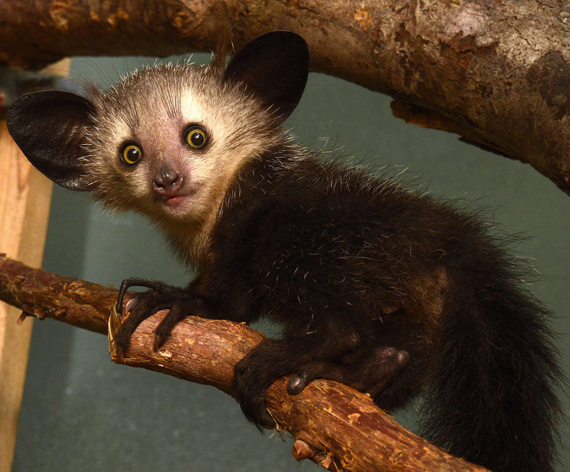 infant aye-aye agatha