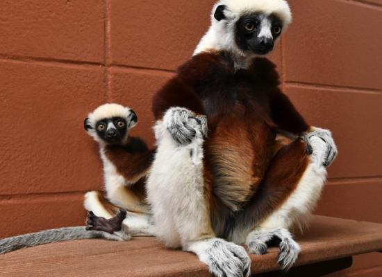 Coquerel's Sifaka - Duke Lemur Center