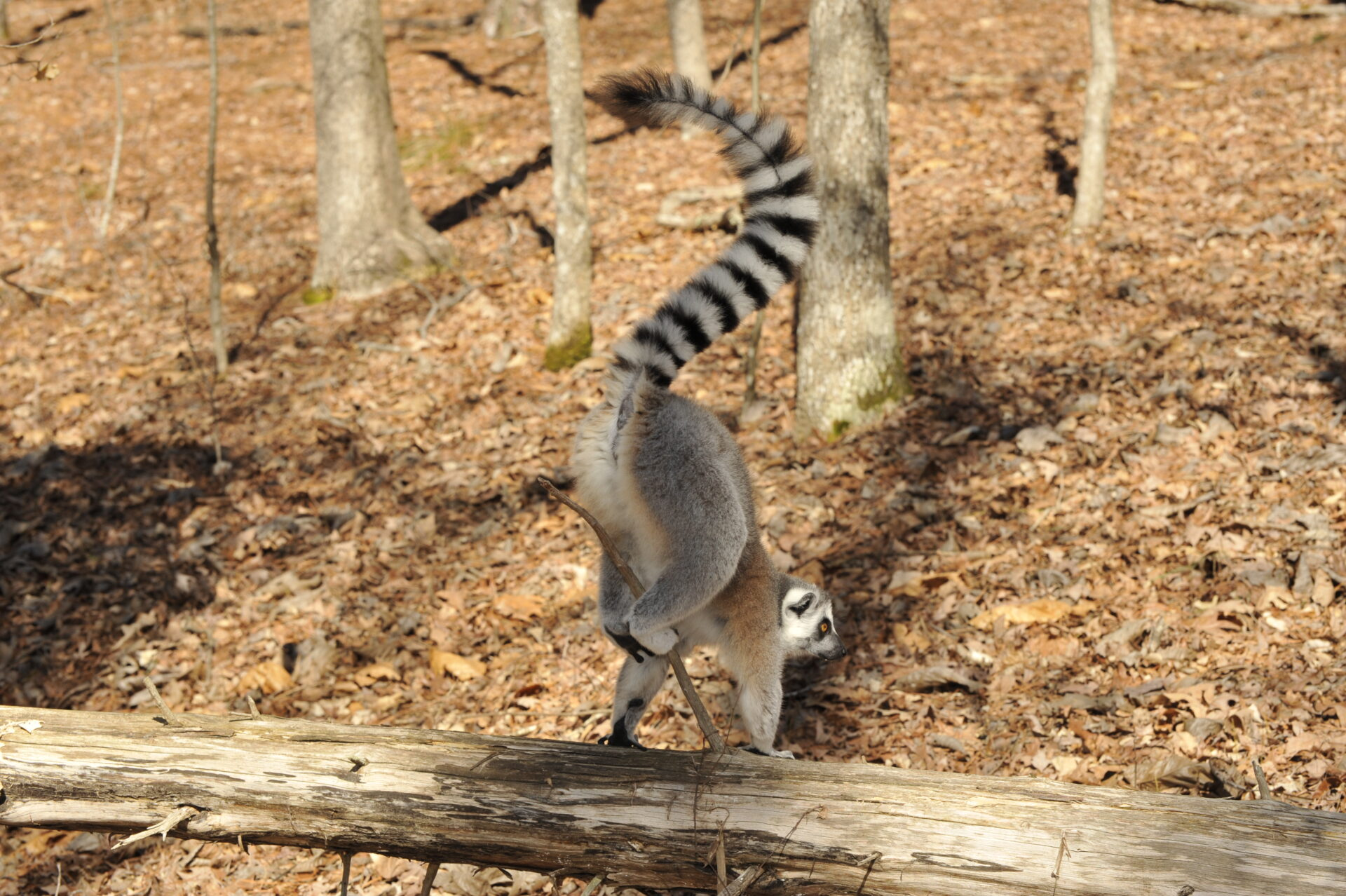 Scent-marking ring-tail lemur