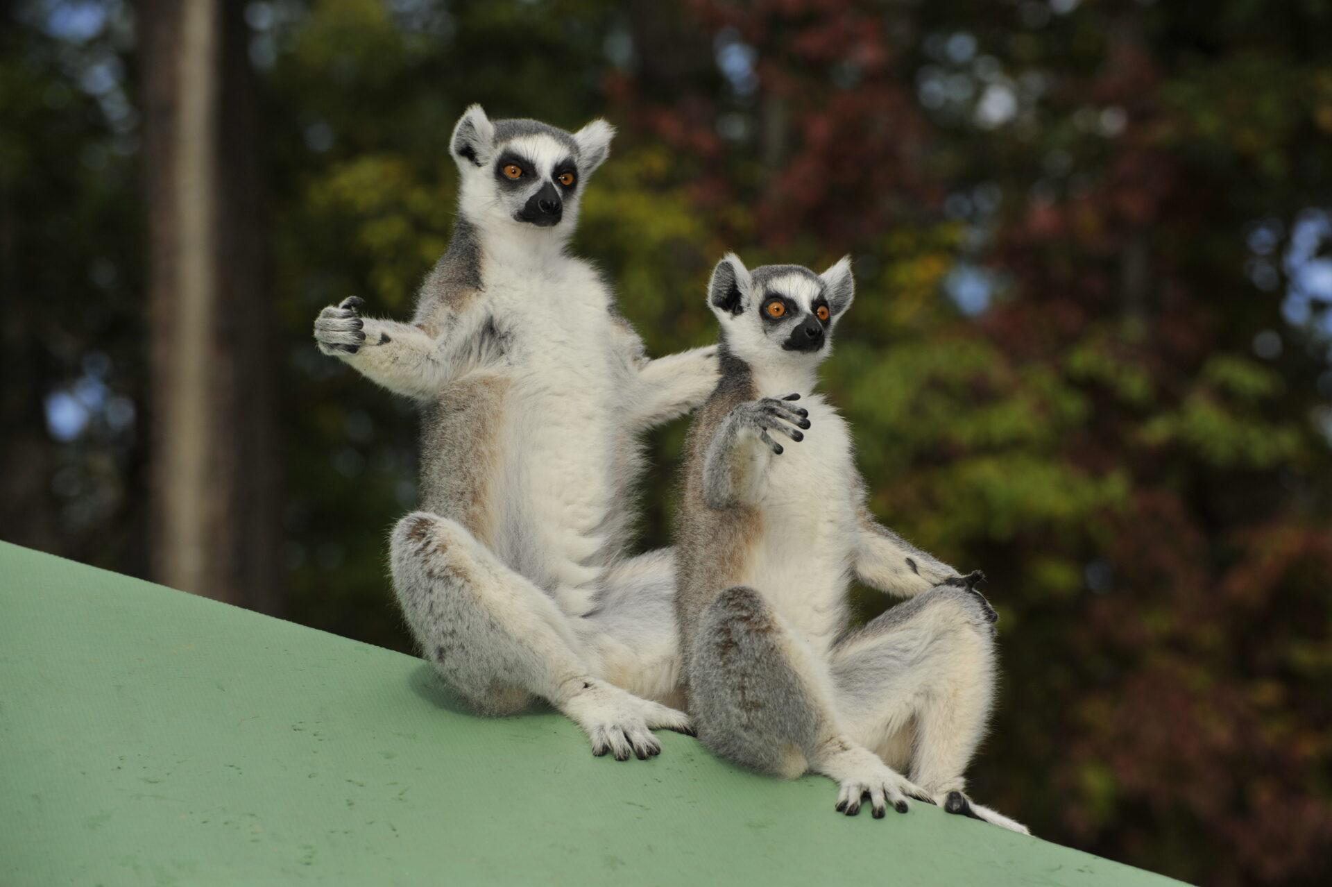 ring-tail lemur sun worshipping