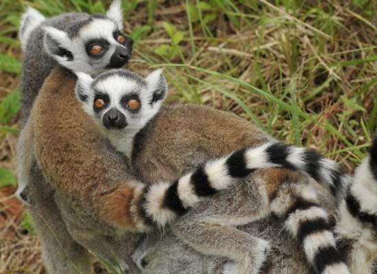 ring-tailed lemur infants duke lemur center