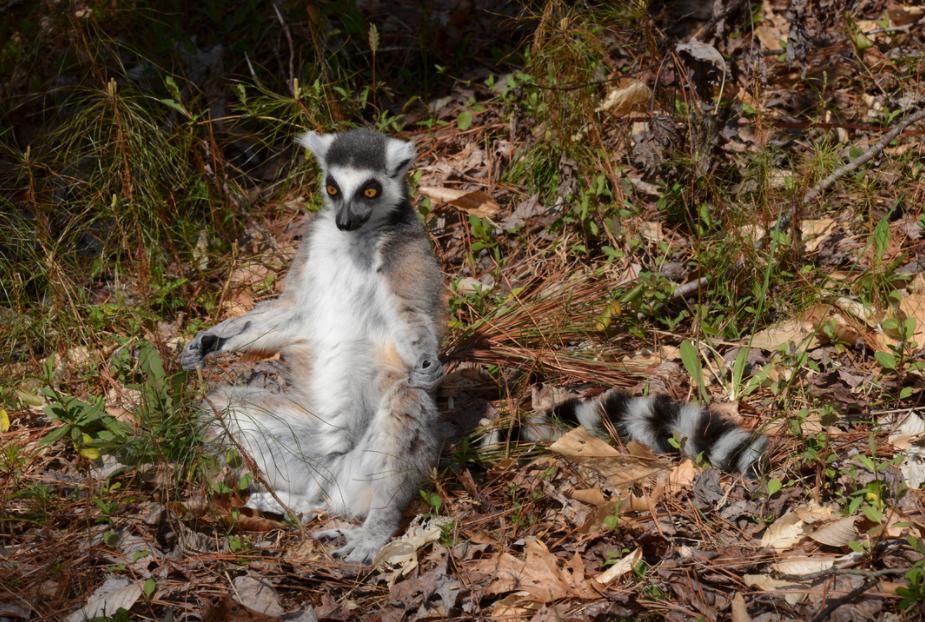 sun worshipping ring-tailed lemur