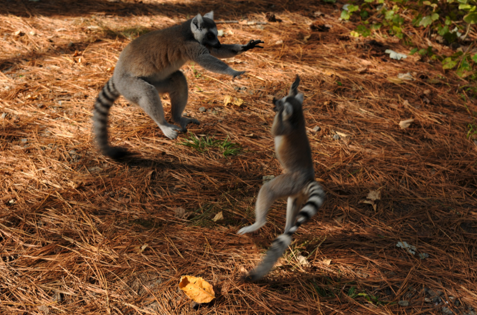 ring-tail lemur infant and adult playing