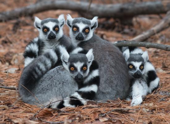 ring-tailed lemurs ball lemur catta