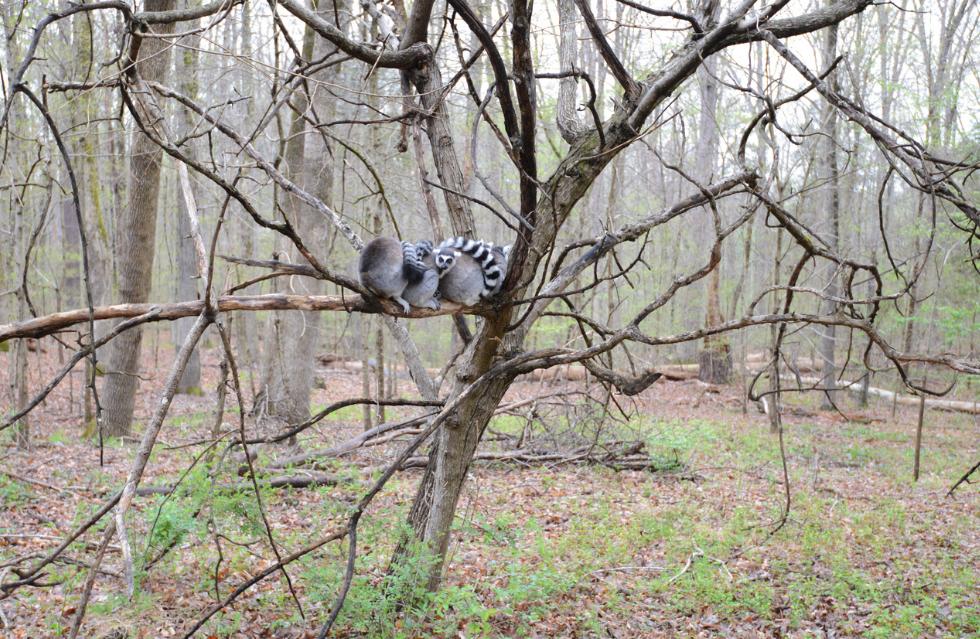 lemur ball in tree catta