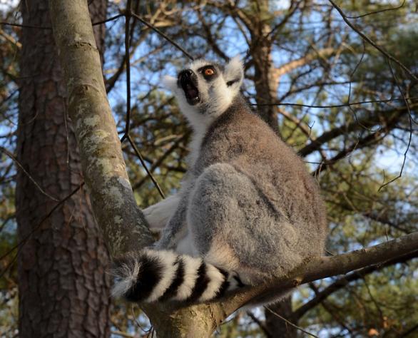 ring-tailed lemur calling