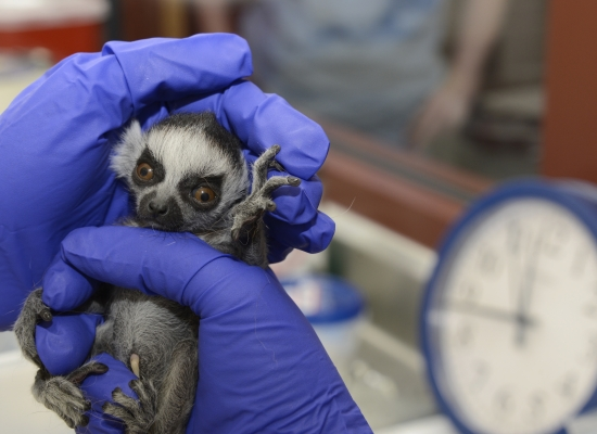 Ring-tailed Lemur - Duke Lemur Center