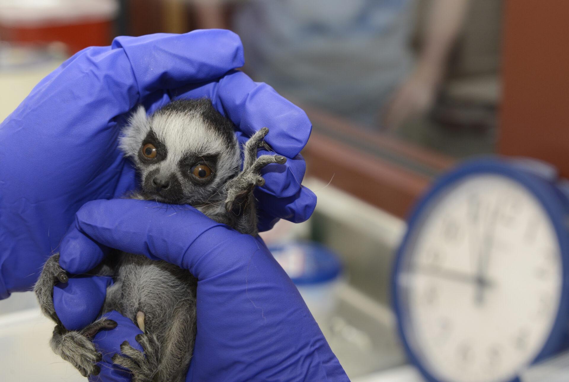 ring-tailed lemur infant newborn duke lemur center
