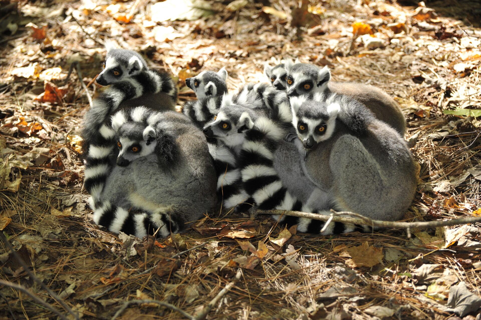 _ lemur ball_ nhe9 pc_4DH4068