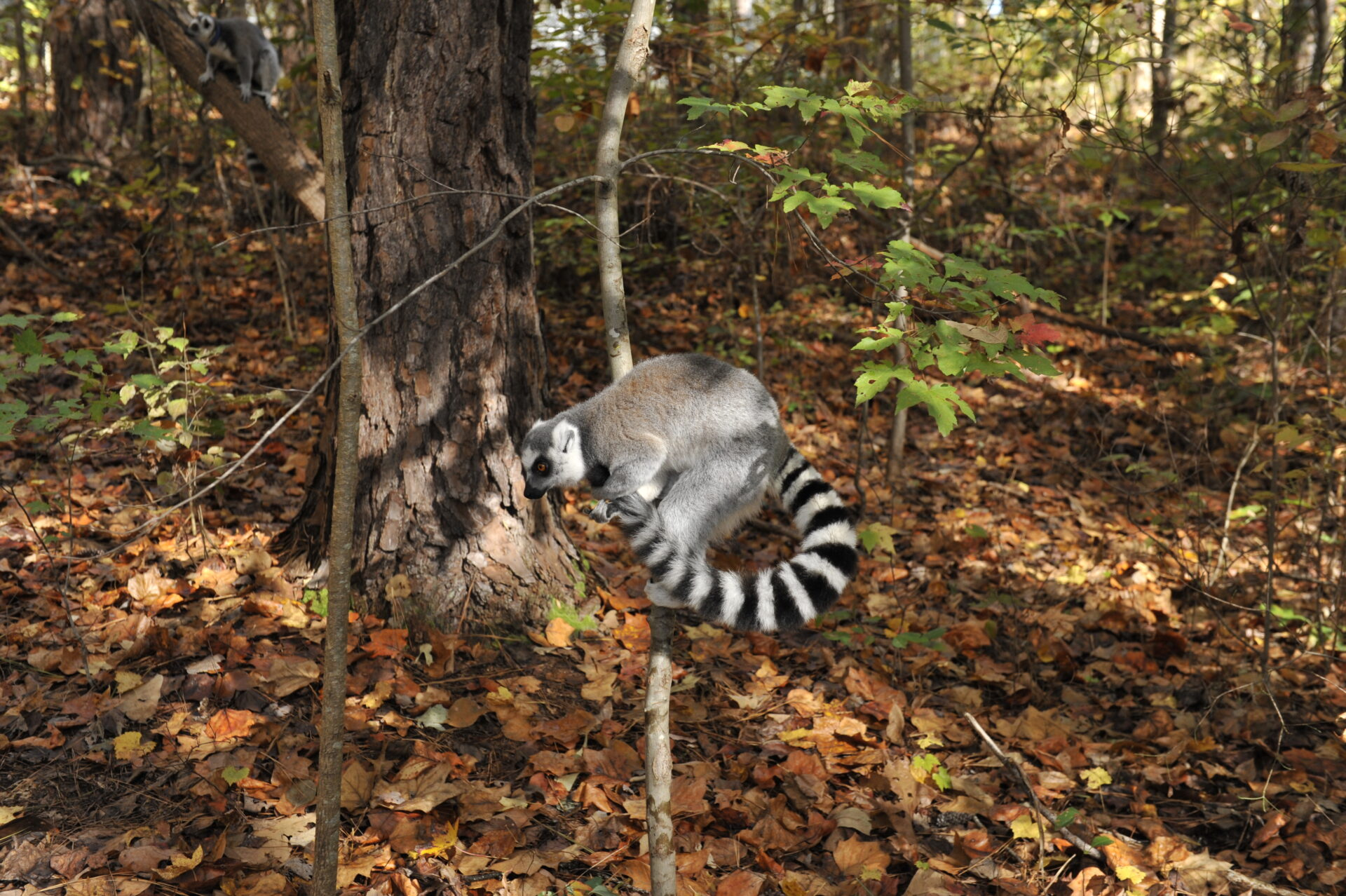 stink fighting ring-tailed lemur