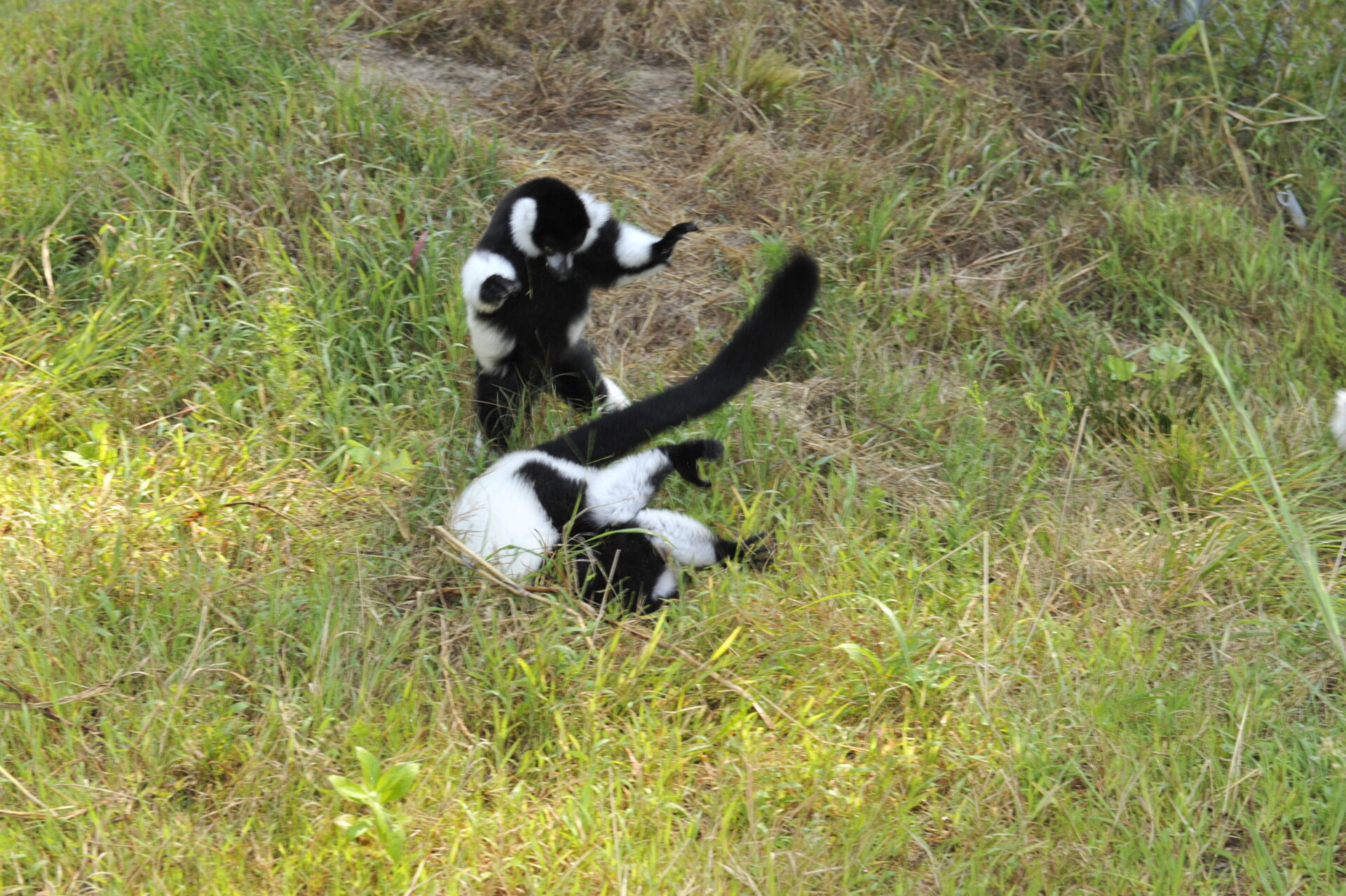 young ruffed lemurs playing