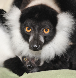 ruffed lemur infant with mother