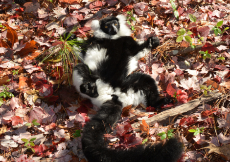 black and white ruffed lemur sunbathing