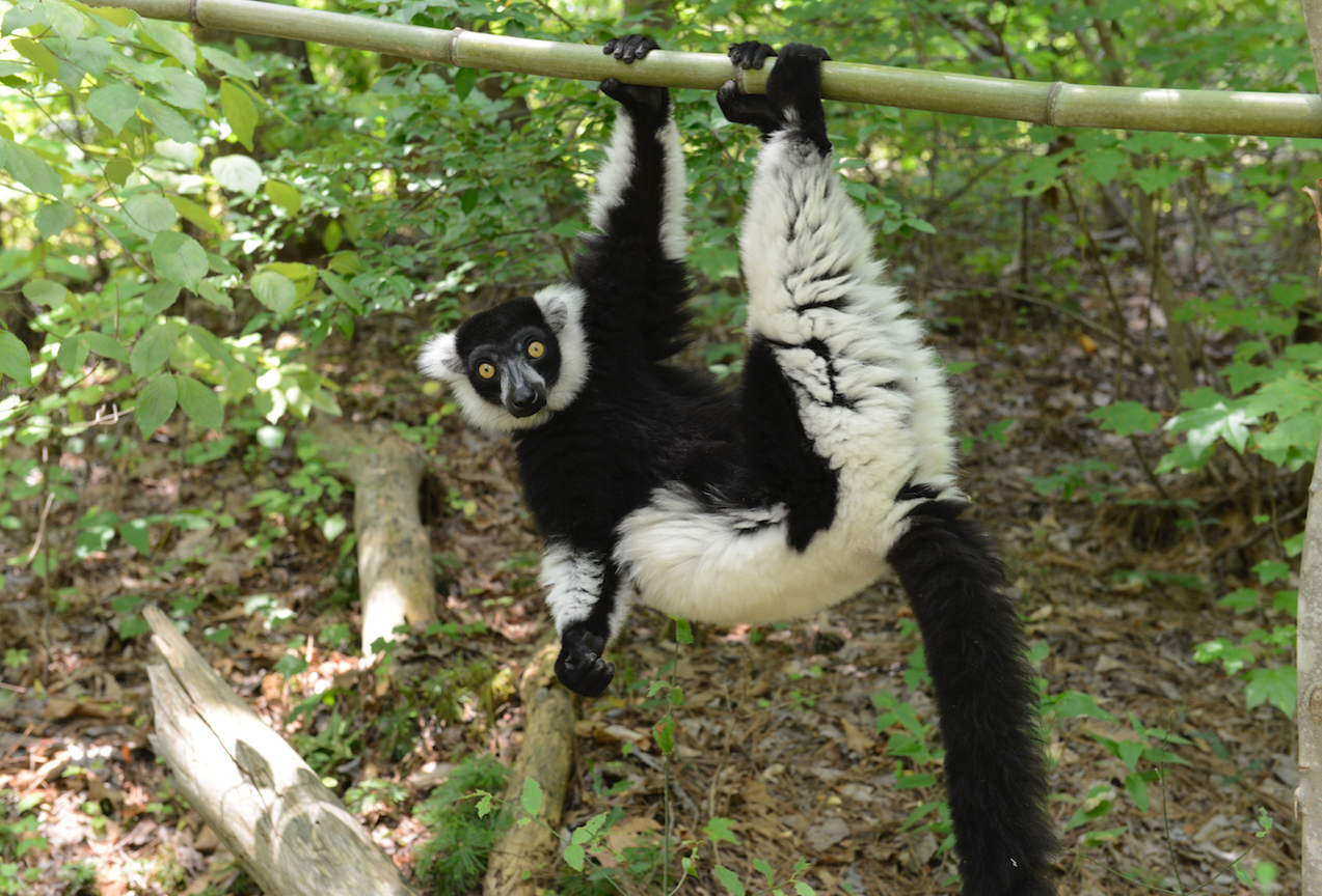 black and white ruffed lemur hanging from bamboo