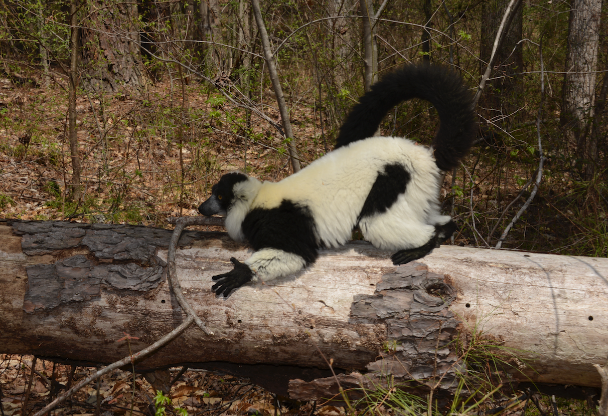 black and white ruffed lemur scent marking